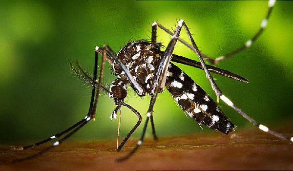 Zika zsugorítja az egerek herékét és csökkenti a termékenységet